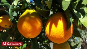 oranges- Valencia late offer